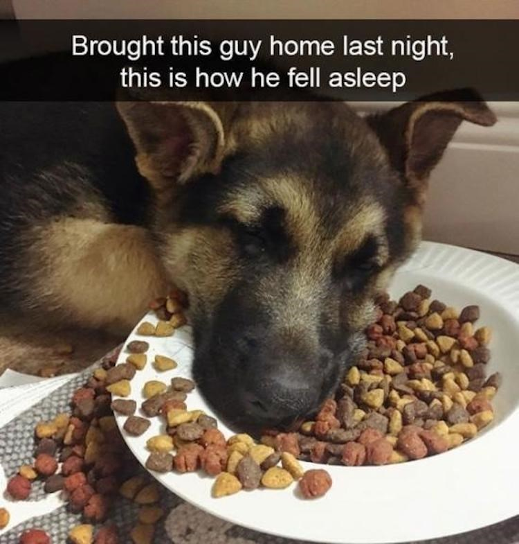 German shepherd dog - Brought this guy home last night, this is how he fell asleep