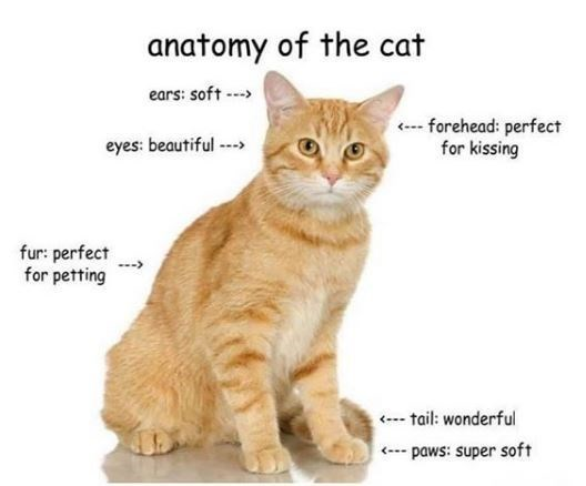 Cat - anatomy of the cat ears: soft ---> (--- forehead: perfect for kissing eyes: beautiful ---> fur: perfect for petting --- tail: wonderful (--- paws: super soft