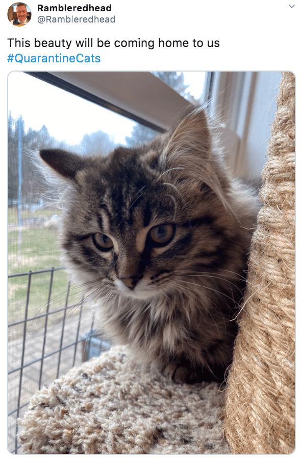 Cat - Rambleredhead @Rambleredhead This beauty will be coming home to us #QuarantineCats >