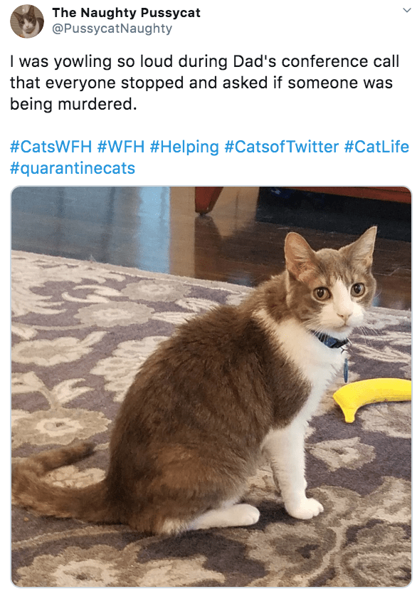 Cat - The Naughty Pussycat @PussycatNaughty I was yowling so loud during Dad's conference call that everyone stopped and asked if someone was being murdered. #CatsWFH #VWFH #Helping #CatsofTwitter #CatLife #quarantinecats >