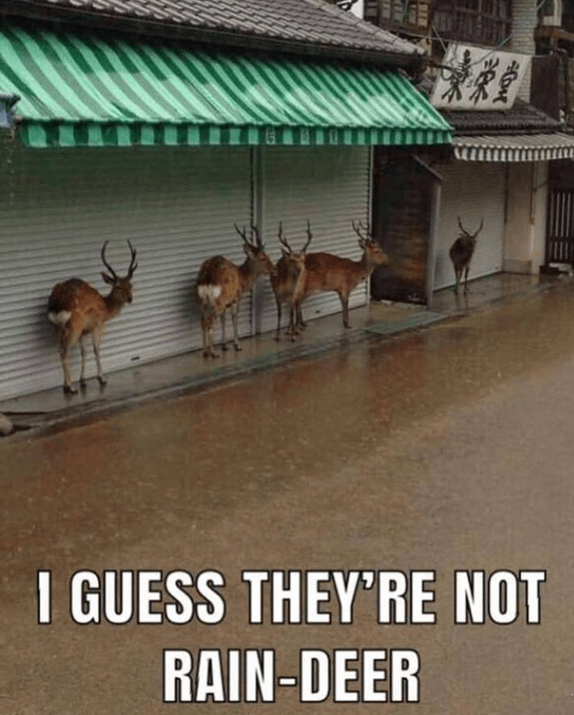 I GUESS THEY'RE NOT RAIN-DEER pic of reindeer sheltering hiding from rain