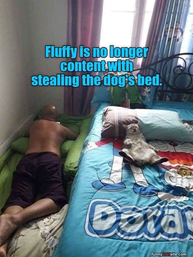 Fluffy's no longer content with stealing the dog's bed funny pic of a cat sleeping on a human bed while a person lies on the floor beside it