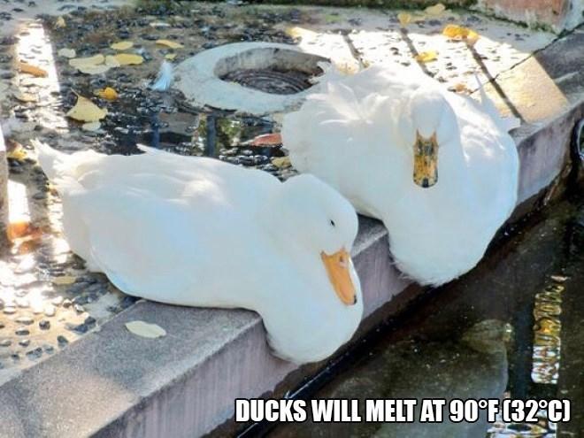 Water bird - DUCKS WILL MELT AT 90°F(32:C)