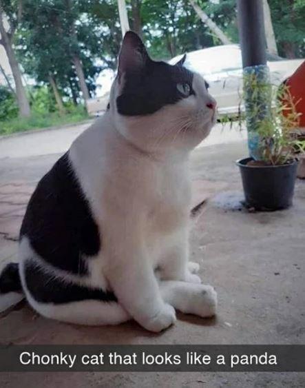 Cat - Chonky cat that looks like a panda