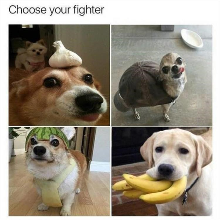 choose your fighter funny dog pics dog balancing onion on head dog with bananas in mouth small dog wearing a hat on its body and dog in watermelon helmet
