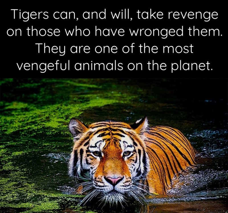 Tiger - Tigers can, and will, take revenge on those who have wronged them. They are one of the most vengeful animals on the planet.