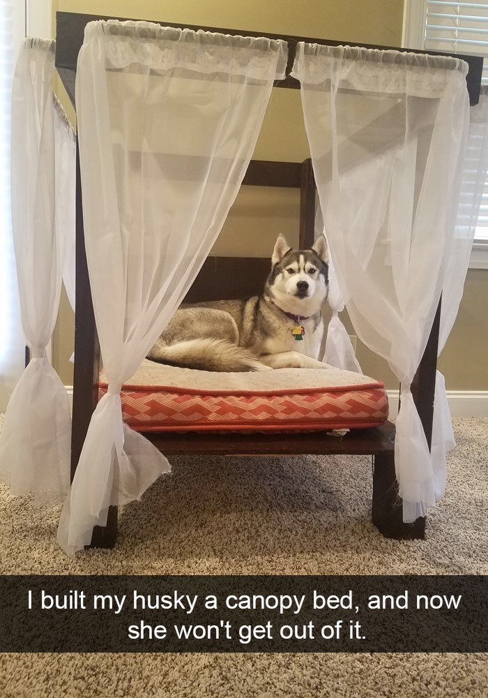 Canopy bed - I built my husky a canopy bed, and now she won't get out of it.