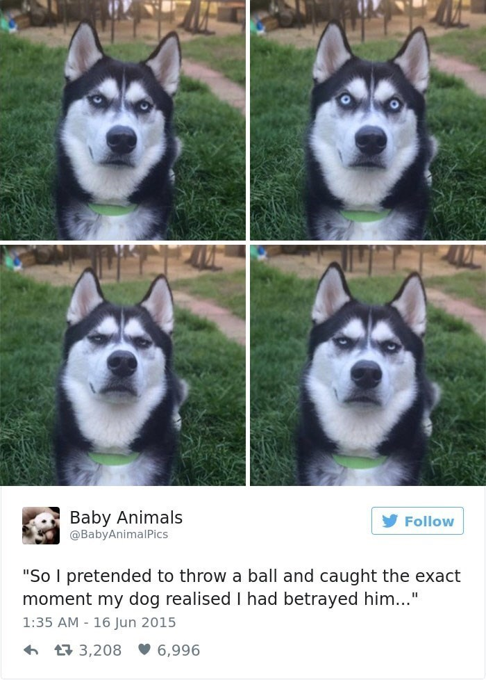 "Dog - Baby Animals @BabyAnimalPics Follow ""So I pretended to throw a ball and caught the exact moment my dog realised I had betrayed him..."" 1:35 AM - 16 Jun 2015 17 3,208 V 6,996"