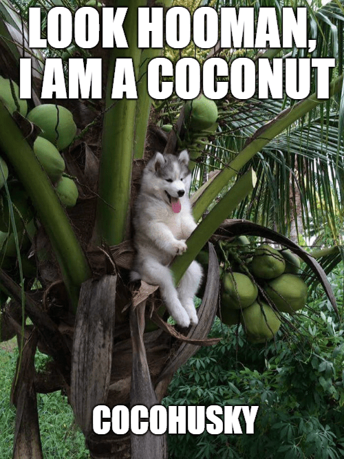 Cat - LOOK HOOMAN, IAM A COCONUT COCOHUSKY
