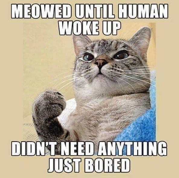 Cat - MEOWED UNTIL HUMAN WOKE UP DIDN'T NEED ANYTHING JUST BORED