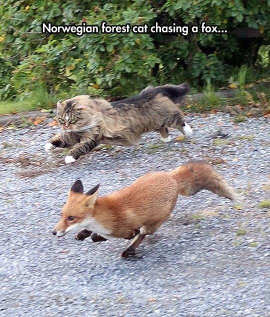 fox Cats funny - 9533604608