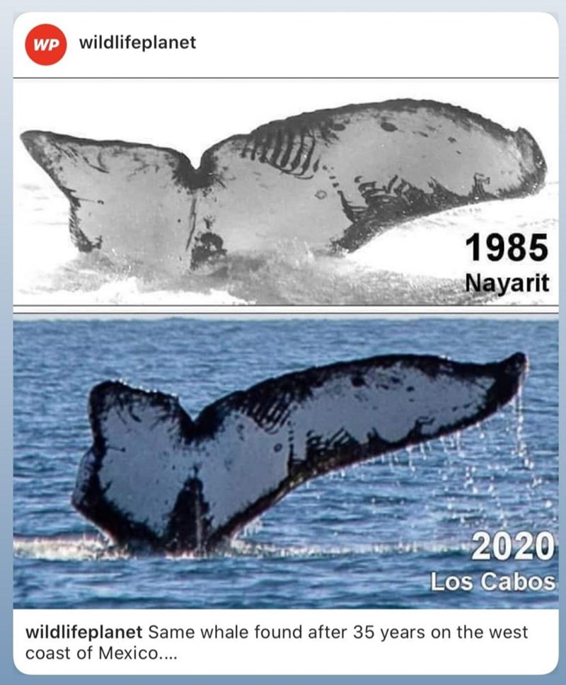 1985 2020 los cabos wildlifeplanet Same whale found after 35 years on the west coast of Mexico....