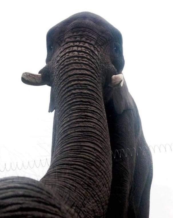Elephant - ww.Ym