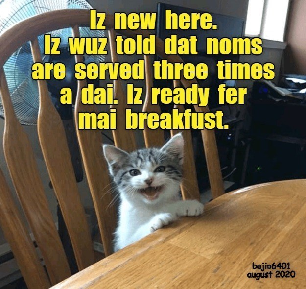 Cat - Iz new here. IZ wuz told dat noms are served three times a dai. Iz ready fer mai breakfust. bajio6401 august 2020