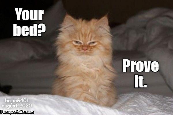 Cat - Your bed? Prove it. bajio6401 august 2020 Funnycatsite.com