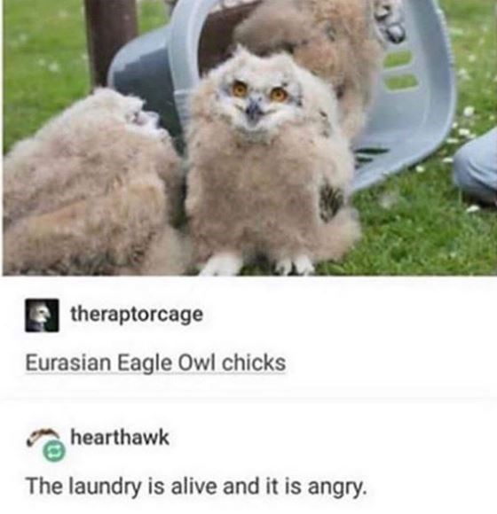Owl - theraptorcage Eurasian Eagle Owl chicks hearthawk The laundry is alive and it is angry.