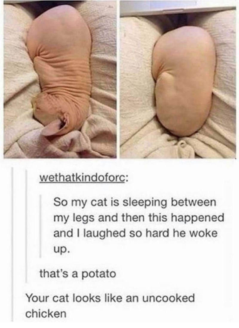 wethatkindoforc: So my cat is sleeping between my legs and then this happened and I laughed so hard he woke that's a potato Your cat looks like an uncooked chicken sphynx hairless bald cat