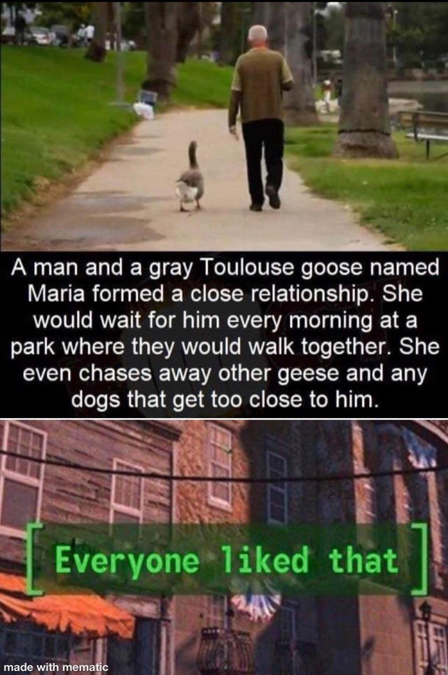Adaptation - A man and a gray Toulouse goose named Maria formed a close relationship. She would wait for him every morning at a park where they would walk together. She even chases away other geese and any dogs that get too close to him. Everyone liked that made with mematic