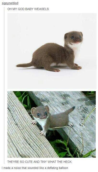 Vertebrate - sigoynerblod OH MY GOD BABY WEASELS THEYRE SO CUTE AND TINY WHAT THE HECK I made a noise that sounded like a deflating balloon