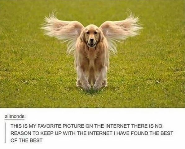 allmonds: THIS IS MY FAVORITE PICTURE ON THE INTERNET THERE IS NO REASON TO KEEP up WITH THE INTERNET I HAVE FOUND THE BEST OF THE BEST mirrored pic of a dog with a fuzzy tail that looks as if the dog has wings