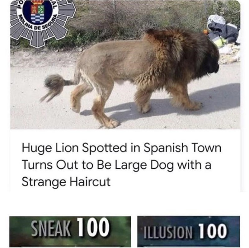Dog - MOLINA DE Huge Lion Spotted in Spanish Town Turns Out to Be Large Dog with a Strange Haircut SNEAK 100 ILLUSION 100 AL EGURA