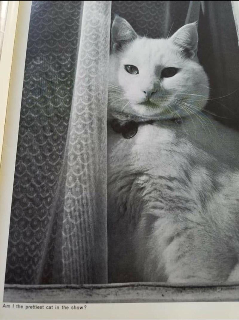 Cat - Am I the prettiest cat in the show?