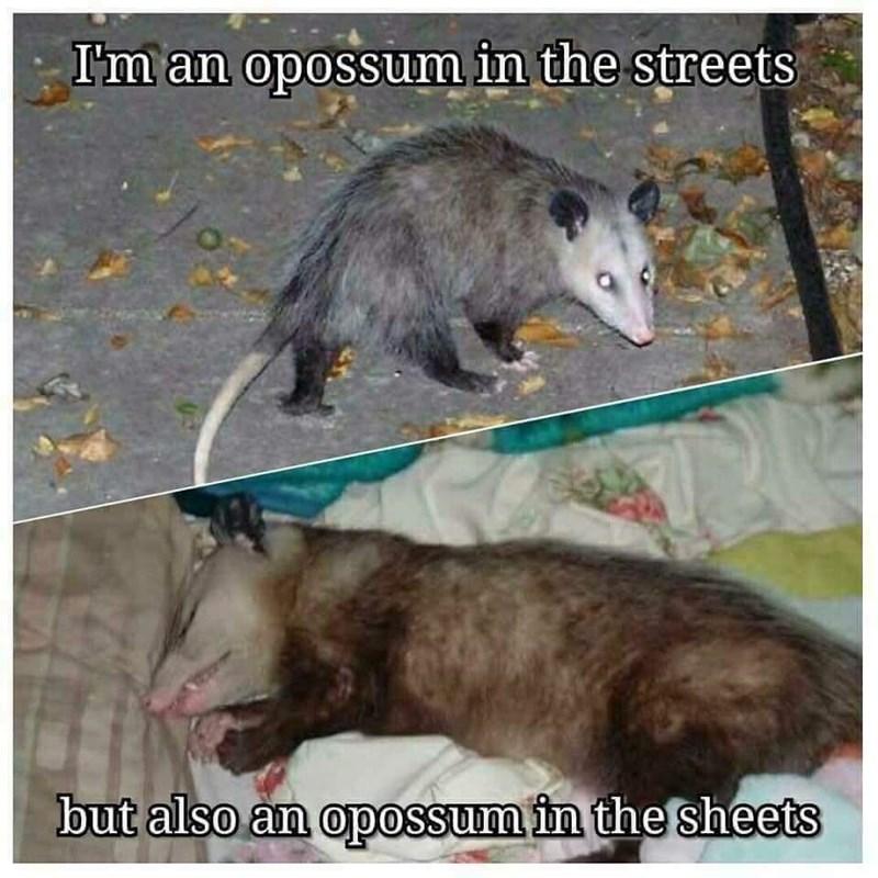 Vertebrate - I'm an opossum in the streets but also an opossum in the sheets
