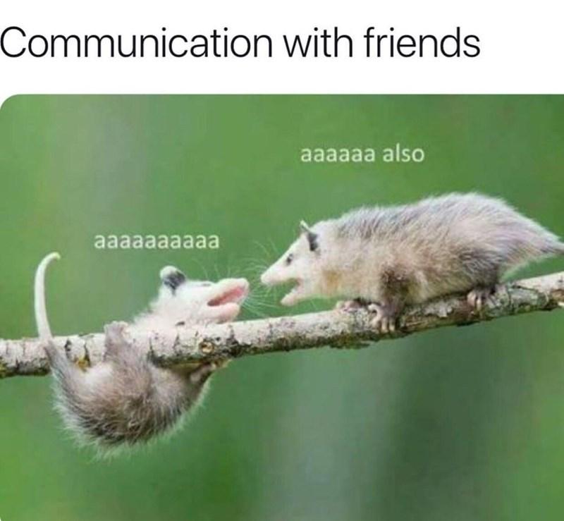 Common opossum - Communication with friends aaaaaa also aaaaaaaaaа
