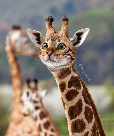 Mammal - Giraffe - @koty_vezde