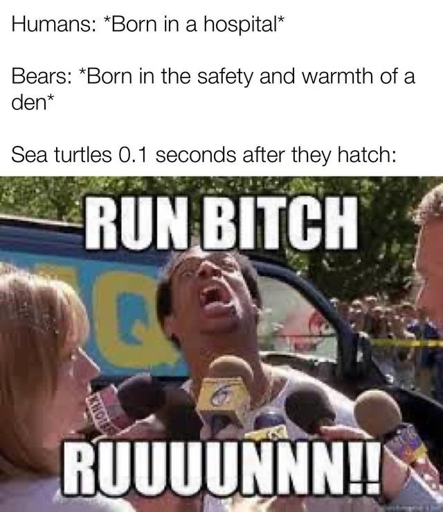 Internet meme - Humans: *Born in a hospital* Bears: *Born in the safety and warmth of a den* Sea turtles 0.1 seconds after they hatch: RUN BITCH RUUUUNNN! KHOU