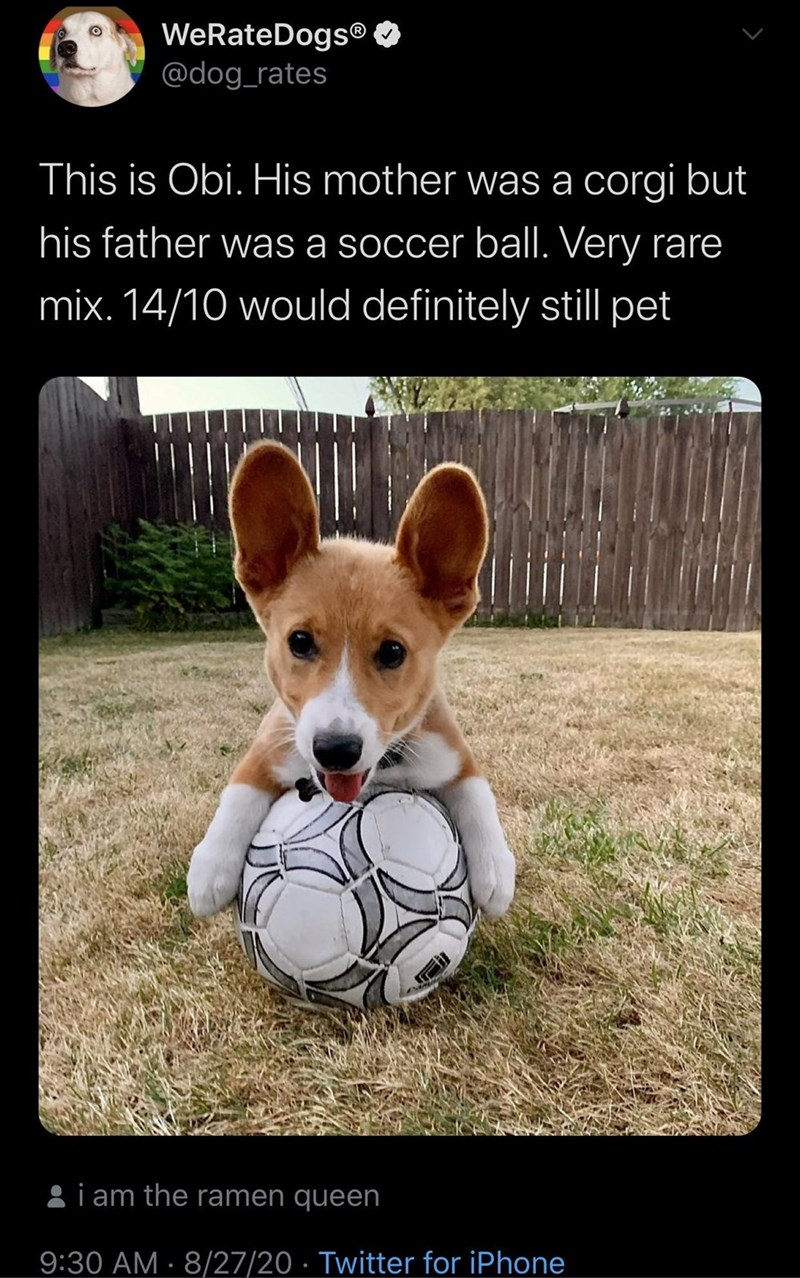 Dog - WeRateDogs® @dog_rates This is Obi. His mother was a corgi but his father was a soccer ball. Very rare mix. 14/10 would definitely still pet 8i am the ramen queen 9:30 AM · 8/27/20 · Twitter for iPhone