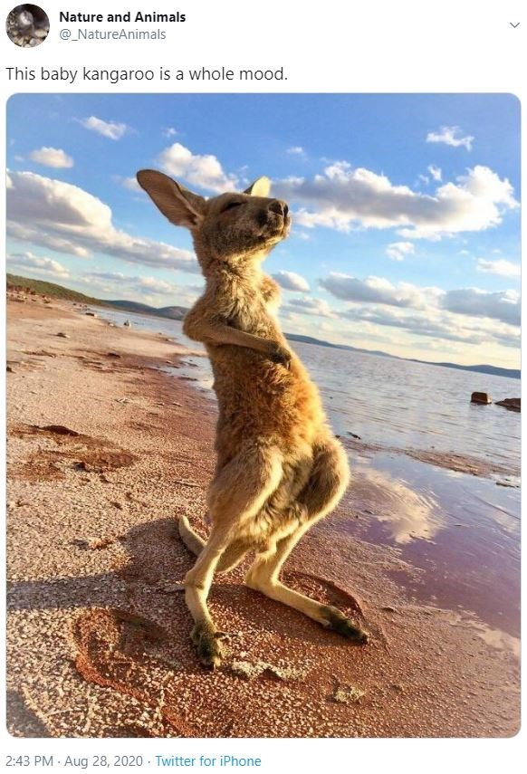 Text - Kangaroo - Nature and Animals @_NatureAnimals This baby kangaroo is a whole mood. 2:43 PM · Aug 28, 2020 · Twitter for iPhone