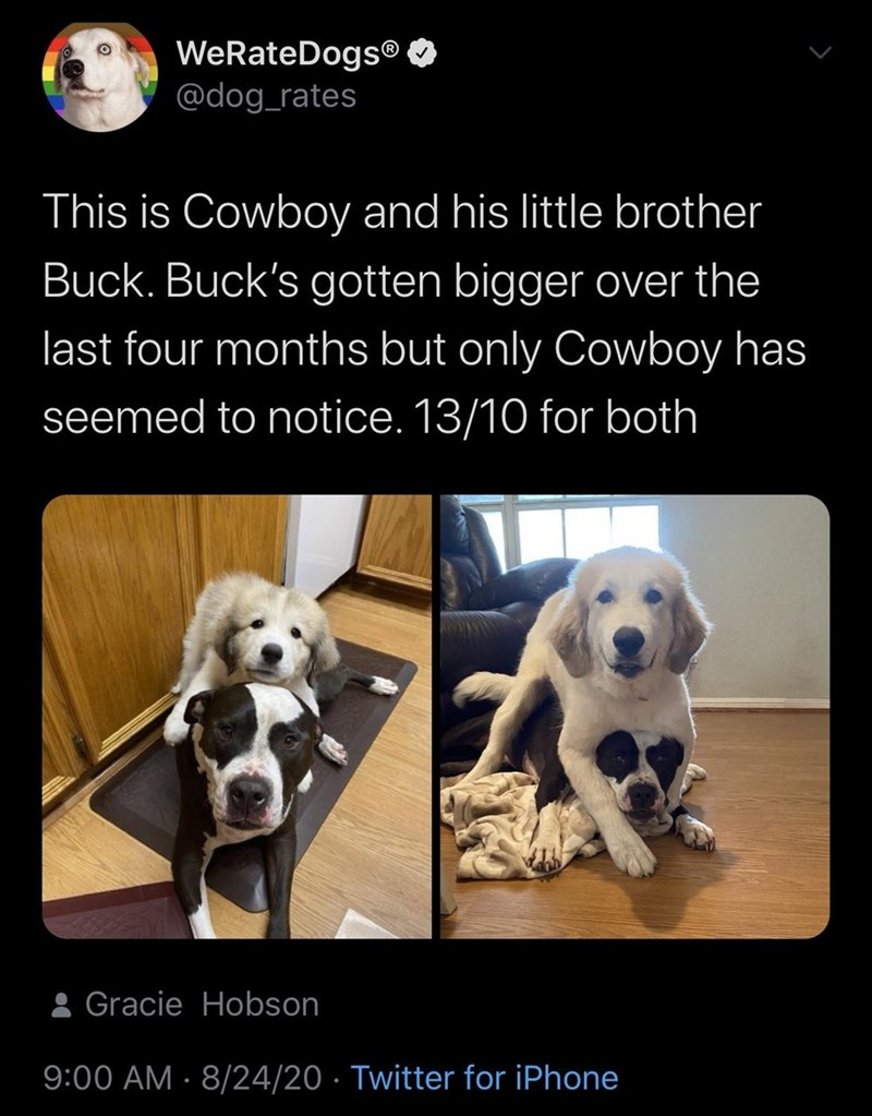 Dog - WeRateDogs® O @dog_rates This is Cowboy and his little brother Buck. Buck's gotten bigger over the last four months but only Cowboy has seemed to notice. 13/10 for both 8 Gracie Hobson 9:00 AM · 8/24/20 · Twitter for iPhone