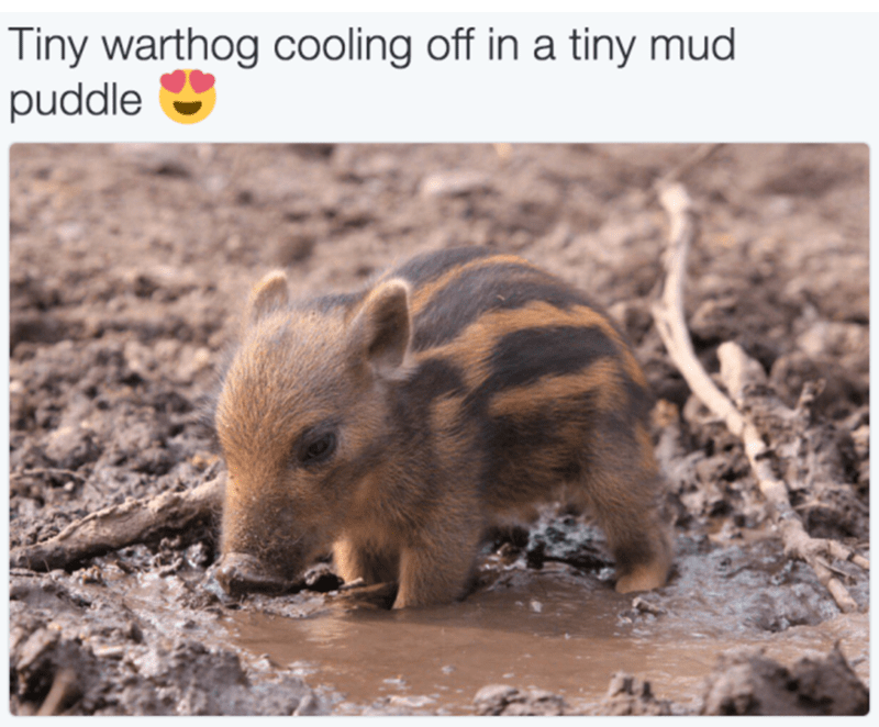 Vertebrate - Tiny warthog cooling off in a tiny mud puddle