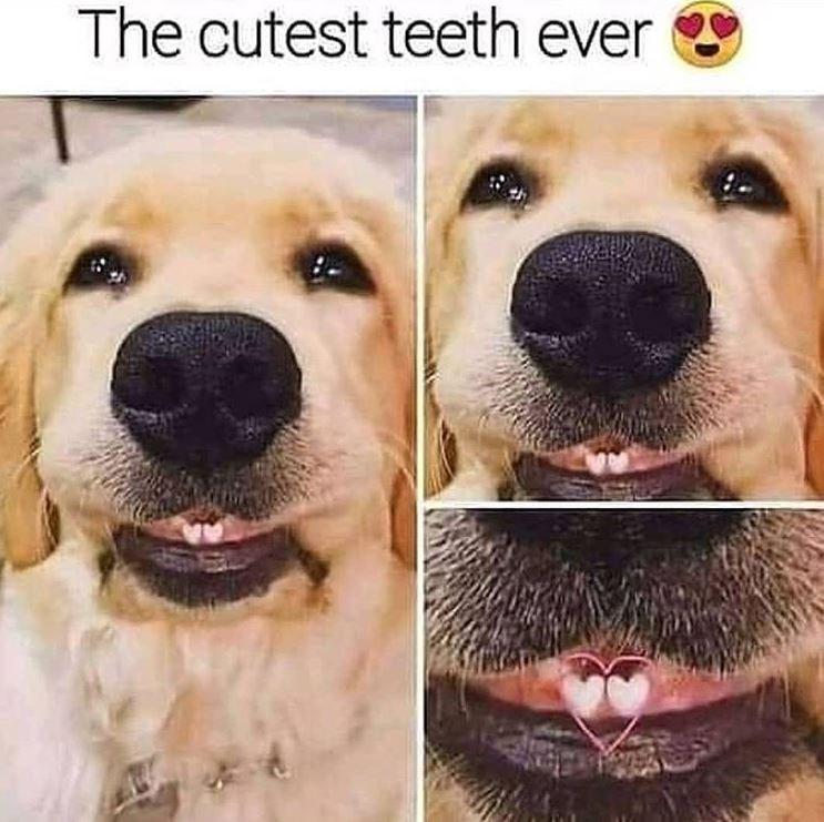 Dog - The cutest teeth ever