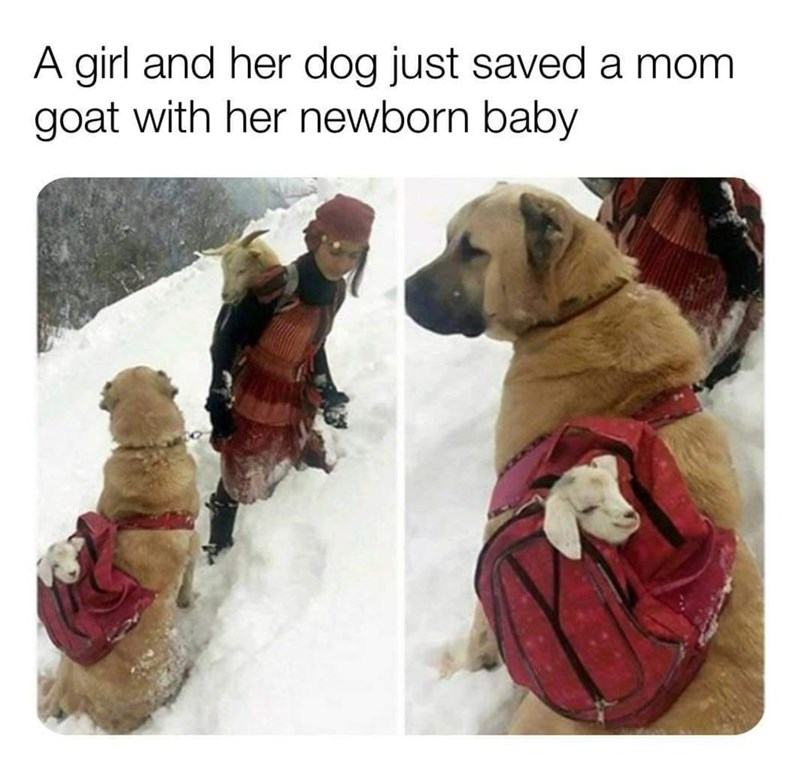 Dog - A girl and her dog just saved a mom goat with her newborn baby