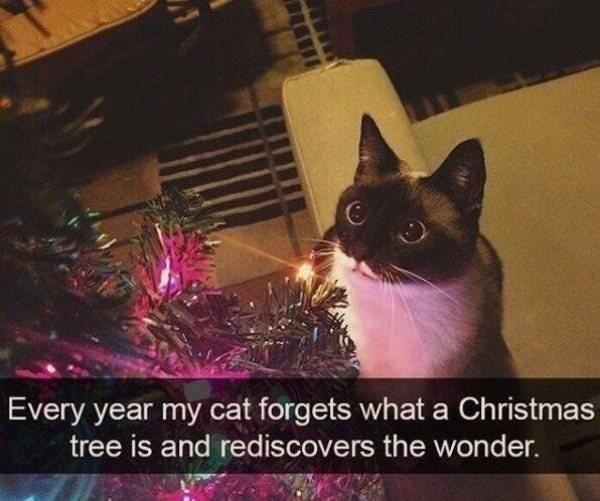 Cat - Every year my cat forgets what a Christmas tree is and rediscovers the wonder.