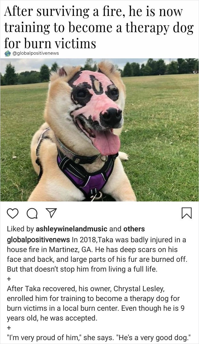 Vertebrate - After surviving a fire, he is now training to become a therapy dog for burn victims @globalpositivenews Liked by ashleywinelandmusic and others globalpositivenews In 2018,Taka was badly injured in a house fire in Martinez, GA. He has deep scars on his face and back, and large parts of his fur are burned off. But that doesn't stop him from living a full life. + After Taka recovered, his owner, Chrystal Lesley, enrolled him for training to become a therapy dog for burn victims in a lo