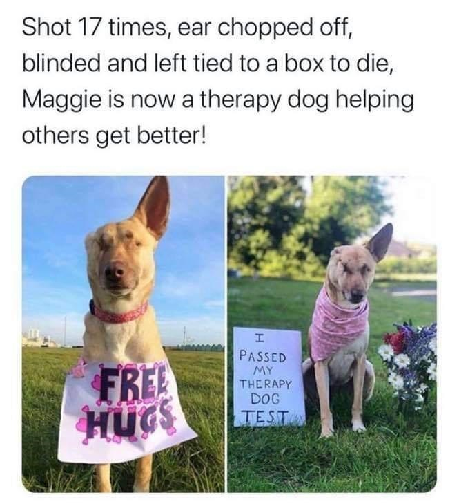 Mammal - Shot 17 times, ear chopped off, blinded and left tied to a box to die, Maggie is now a therapy dog helping others get better! PASSED FREE HUGS MY THERAPY DOG TEST