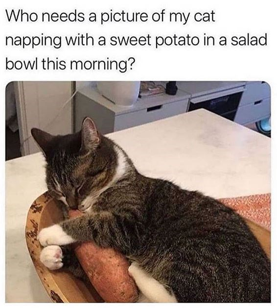 needs a picture of my cat napping with a sweet potato in a salad bowl this morning?