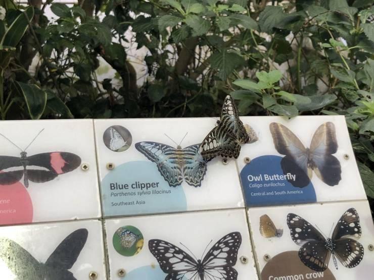 Moths and butterflies - Blue clipper Parthenos sylvia lilacinus Owl Butterfly Caligo eurilochus ene Central and South America Southeast Asia nerica Common crow