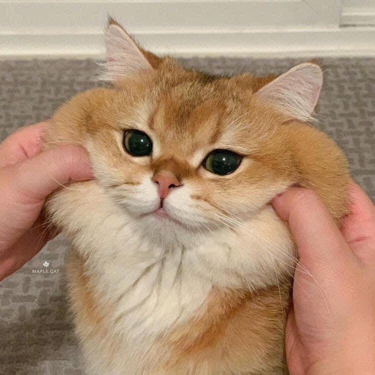Cat - MAPLE CAT