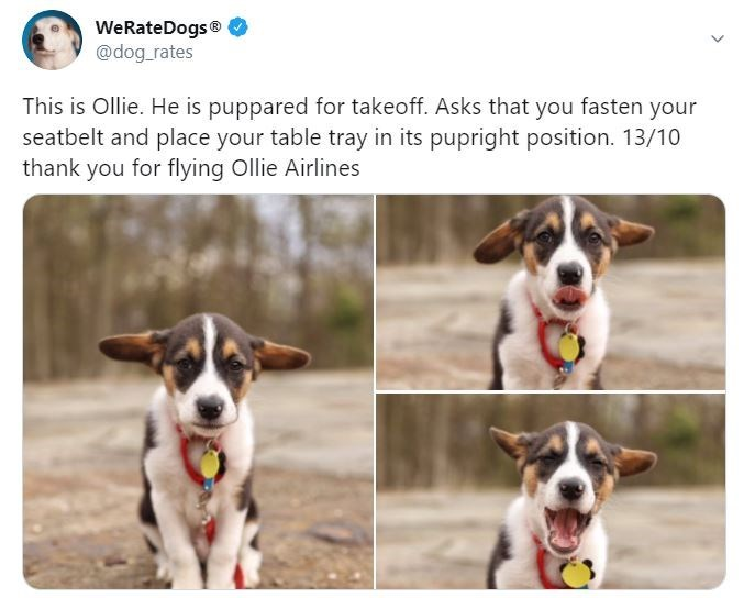 Dog - WeRateDogs® @dog_rates This is Ollie. He is puppared for takeoff. Asks that you fasten your seatbelt and place your table tray in its pupright position. 13/10 thank you for flying Ollie Airlines