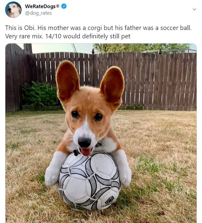 Dog - WeRateDogs® @dog_rates This is Obi. His mother was a corgi but his father was a soccer ball. Very rare mix. 14/10 would definitely still pet
