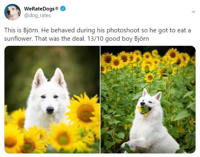 Vertebrate - WeRateDogs® @dog_rates This is Björn. He behaved during his photoshoot so he got to eat a sunflower. That was the deal. 13/10 good boy Björn