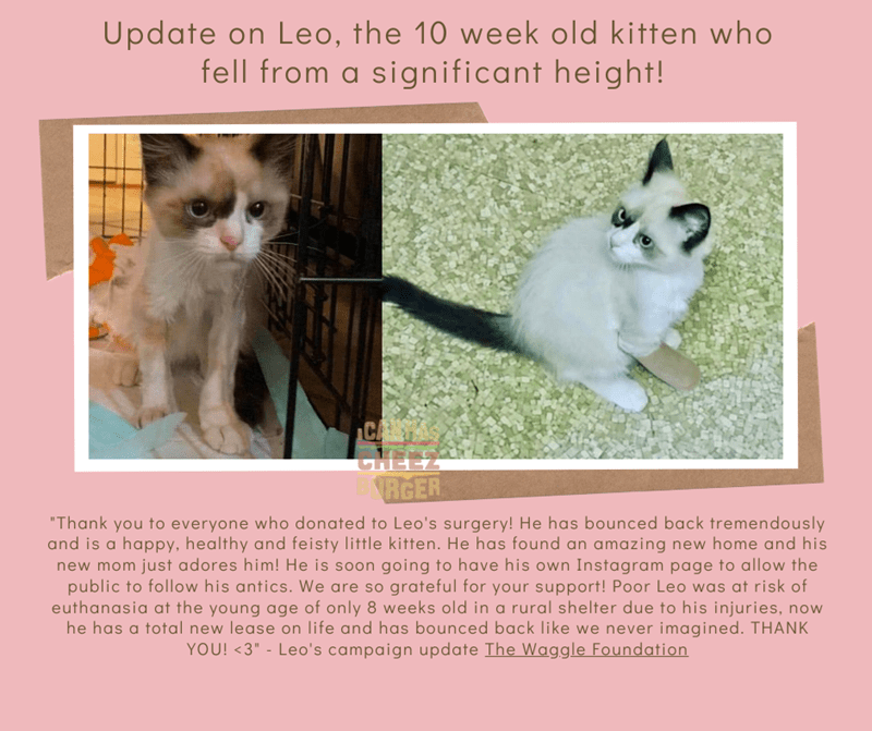 """Cat - Update on Leo, the 10 week old kitten who fell from a significant height! CHEE RGER """"Thank you to everyone who donated to Leo's surgery! He has bounced back tremendously and is a happy, healthy and feisty little kitten. He has found an amazing new home and his new mom just adores him! He is soon going to have his own Instagram page to allow the public to follow his antics. We are so grateful for your support! Poor Leo was at risk of euthanasia at the young age of only 8 weeks old in a rura"""