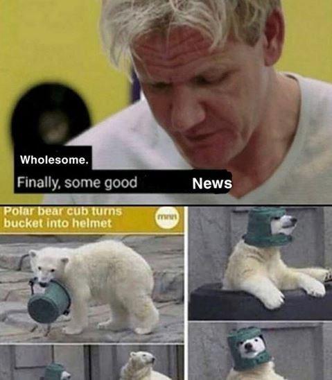 Canidae - Wholesome. Finally, some good News Polar bear cub turns bucket into helmet mnn