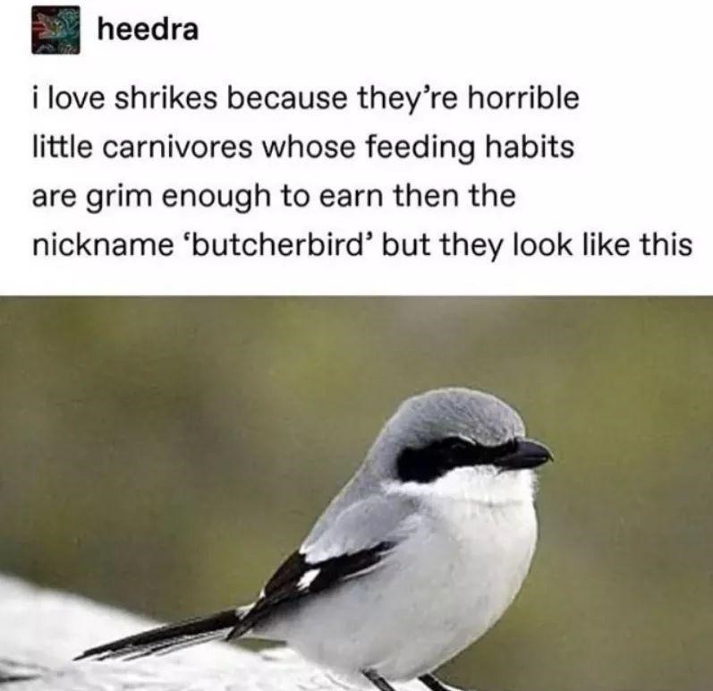 heedra i love shrikes because they're horrible little carnivores whose feeding habits are grim enough to earn then the nickname 'butcherbird' but they look like this