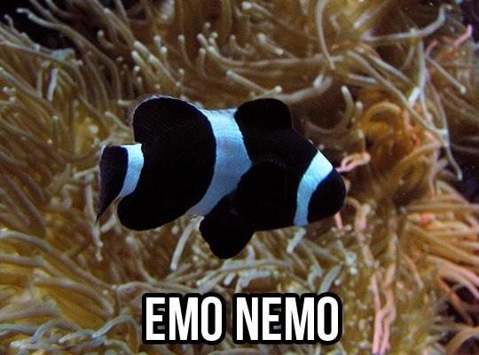 Pomacentridae - EMO NEMO