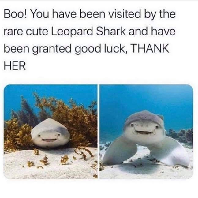 Adaptation - Boo! You have been visited by the rare cute Leopard Shark and have been granted good luck, THANK HER